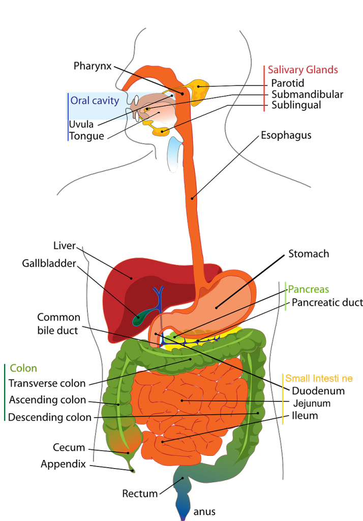 serotonina-apparato-digerente-pancialeggera