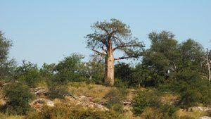 ferzym-bio-baobab-pancialeggera