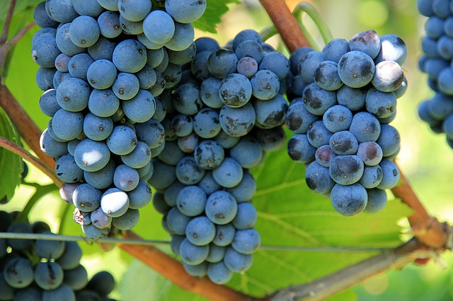 tannini-uva-pancialeggera