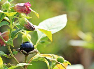 belladonna-gastrite-pancialeggera