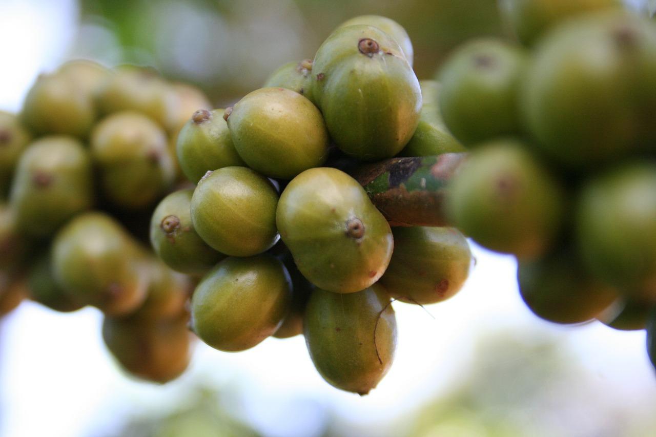 caffè-verde-cose-pancialeggera