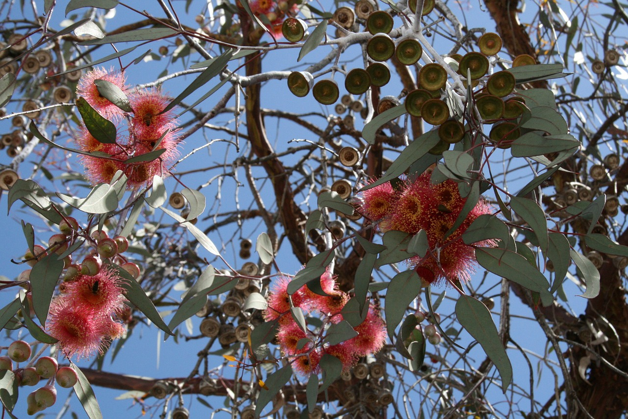 8 Proprietà Benefiche dell'Eucalipto, Usi e Controindicazioni