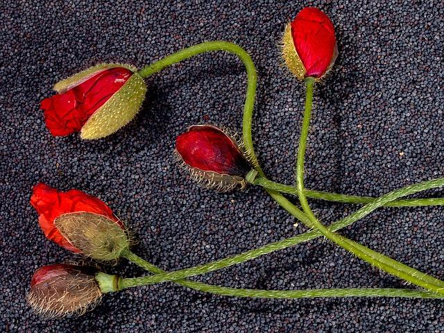 semi-di-papavero-pancialeggera