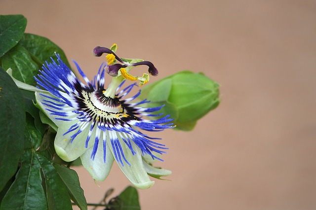 intestino-irritabile-rimedi-naturali-passiflora-pancialeggera
