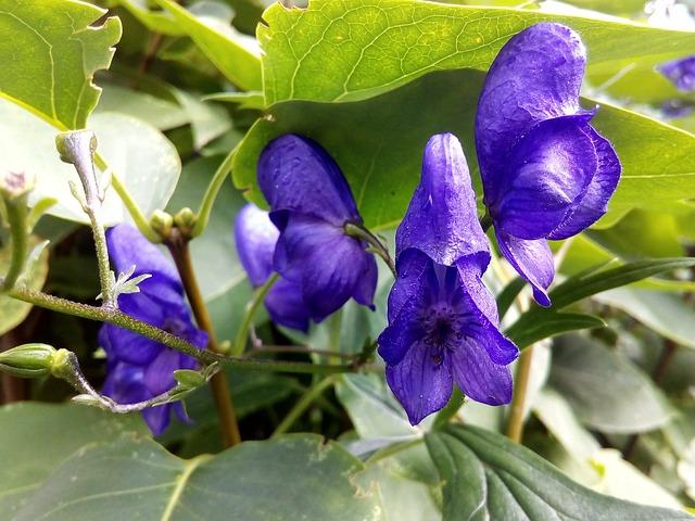 ansia-rimedi-naturali-scutellaria-pancialeggera