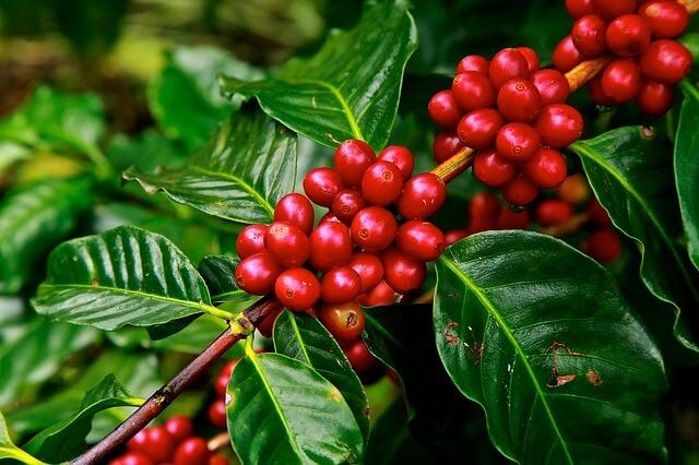 caffè-albero-curiosità-fatti-sorprendenti