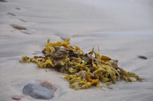 fucus-ingrediente-cerotti-dimagranti