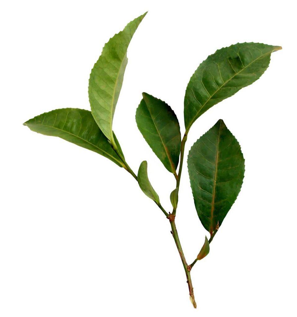 camellia-sinensis-differenze-fra-diversi-tipi-di-tè