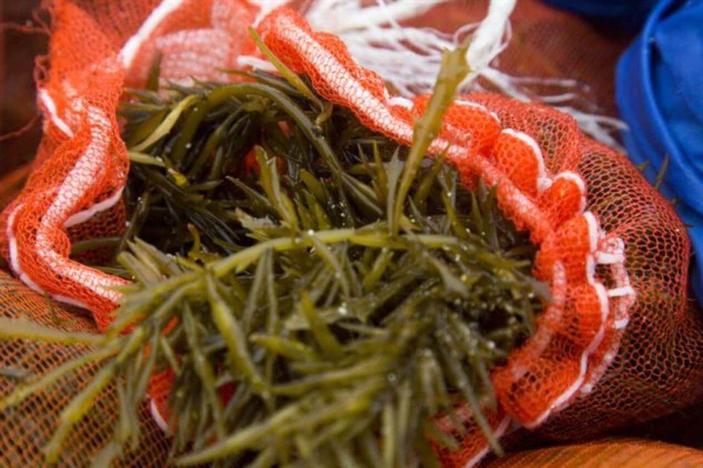 alga hijiki